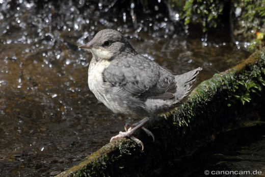 Endlich flügge - juvenile Wasseramsel