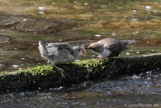 Fütterung ausserhalb des Nestes II