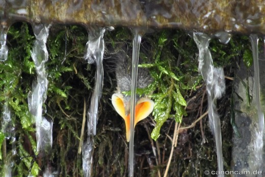 Sperrender Wasseramsel-Nachwuchs