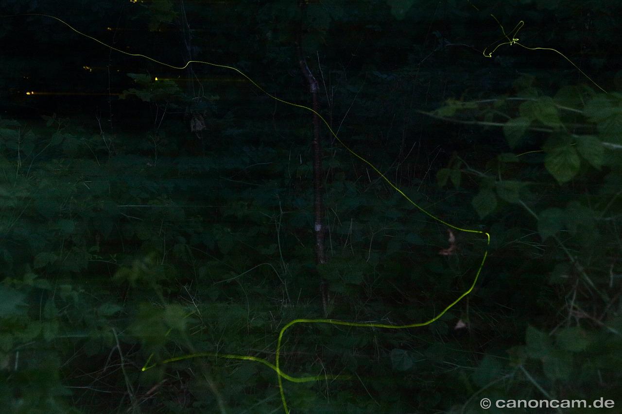 Glühwürmchen, äh... - Leuchtkäfer